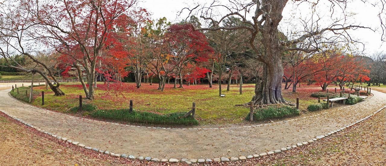 s-20151216 後楽園今日の千入の森の紅葉の名残ワイド風景 (1)