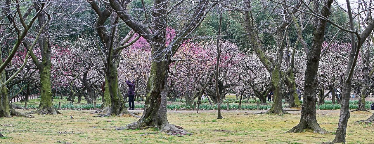 s-20160215 後楽園今日の梅林の様子桜林から眺めたワイド風景 (1)