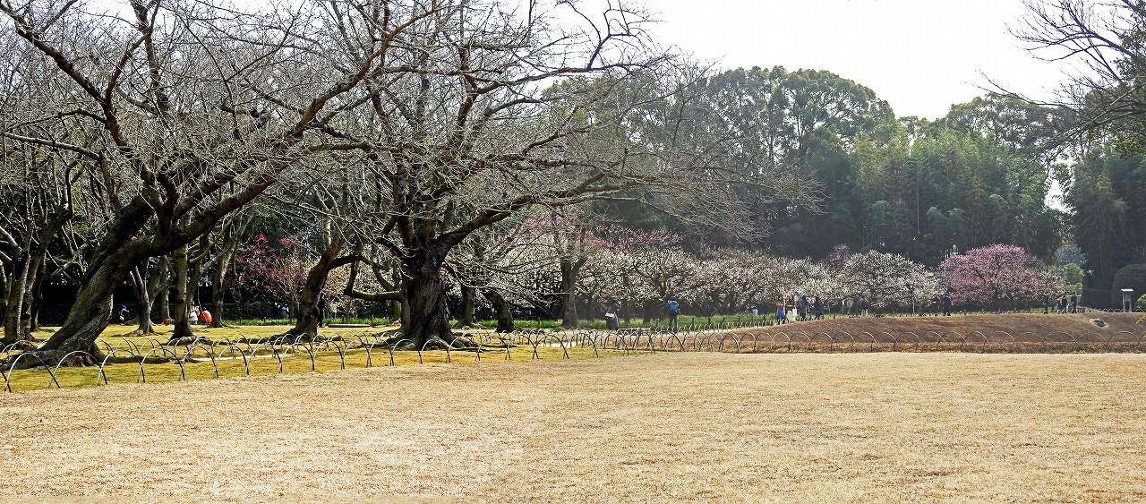 s-20160227 後楽園今日のイベント広場から眺めた梅林の様子ワイド風景 (1)
