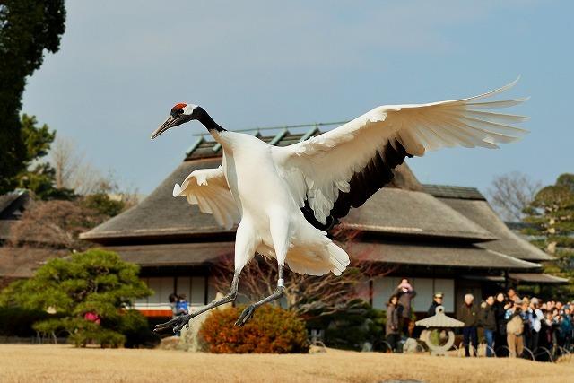 丹頂の飛翔3