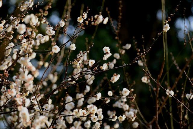 後楽園の白梅