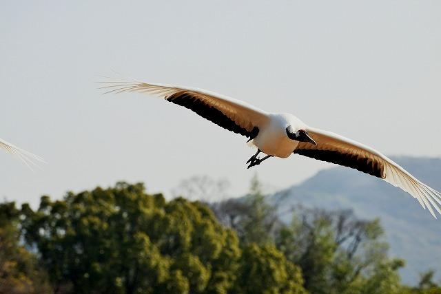 丹頂の飛翔5