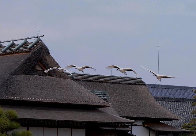 丹頂の飛翔9