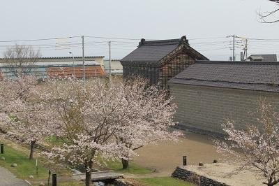 福原漁場 桜 2015-04-28052