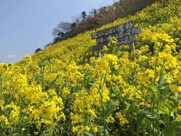 双海菜の花畑2