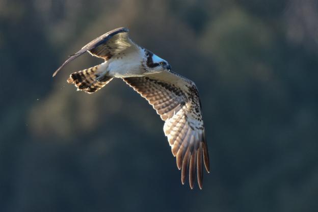ミサゴ飛翔