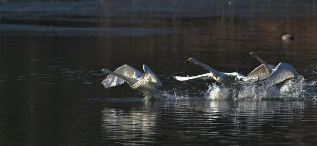 白鳥 飛び出し