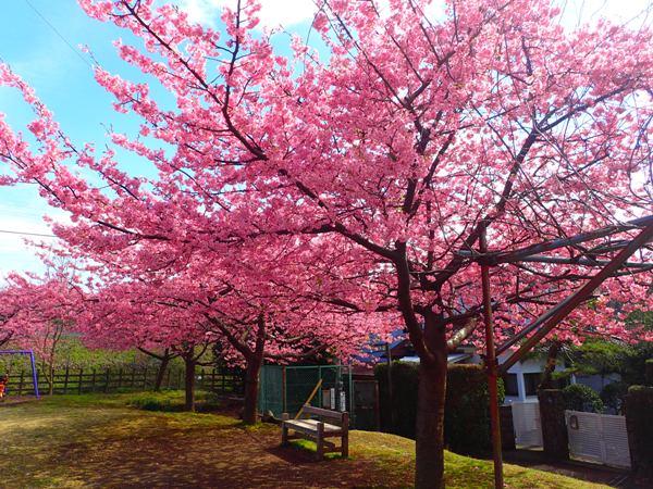 公園の桜(縮小)