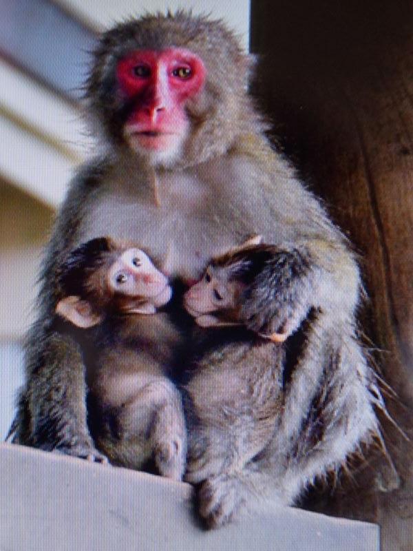 高崎山の猿カラオケ