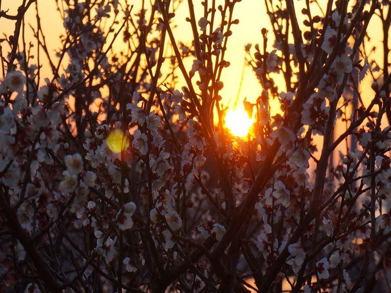 白梅と朝日