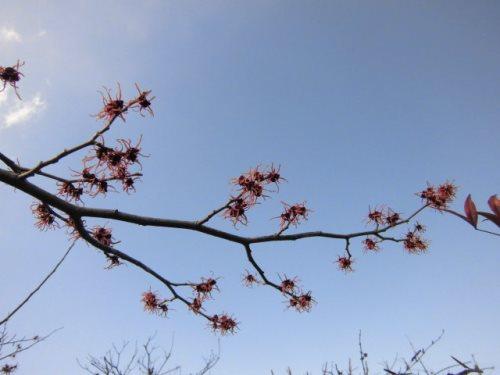 マンサク(赤花)