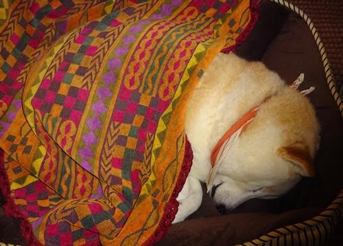 DSC03533タオルをかけて寝るカノン