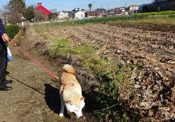 DSC04251勢至堂を望む畑でカノン