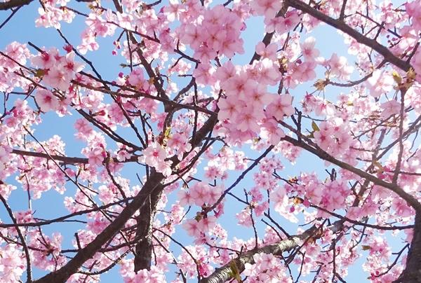 DSC04712きれいな櫻