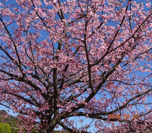 DSC04709満開の河津桜