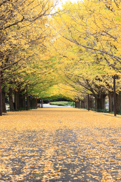 IMG_3670昭和記念公園 銀杏昭和記念公園 銀杏昭和記念公園 銀杏