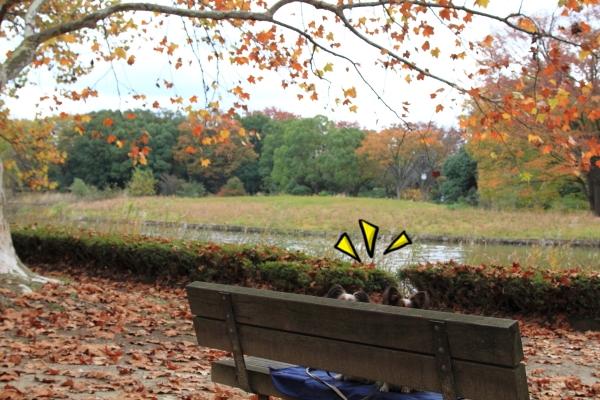 IMG_3703昭和記念公園 銀杏昭和記念公園 銀杏昭和記念公園 銀杏
