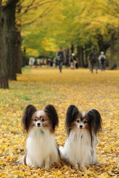 IMG_3753昭和記念公園 銀杏昭和記念公園 銀杏昭和記念公園 銀杏