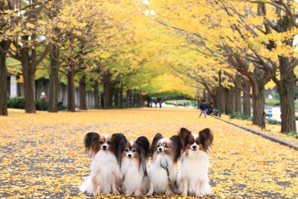 IMG_3689昭和記念公園 銀杏昭和記念公園 銀杏昭和記念公園 銀杏