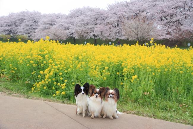 IMG_5607権現堂桜堤権現堂