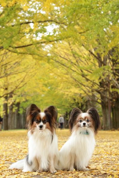 11月昭和記念公園 銀杏カレンダー