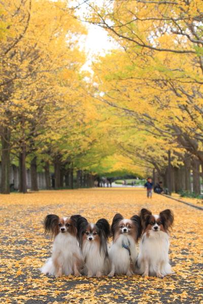 IMG_3690昭和記念公園 銀杏昭和記念公園 銀杏昭和記念公園 銀杏