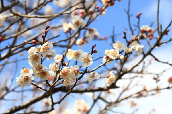 IMG_3036薬師池公園 梅薬師池公園 梅