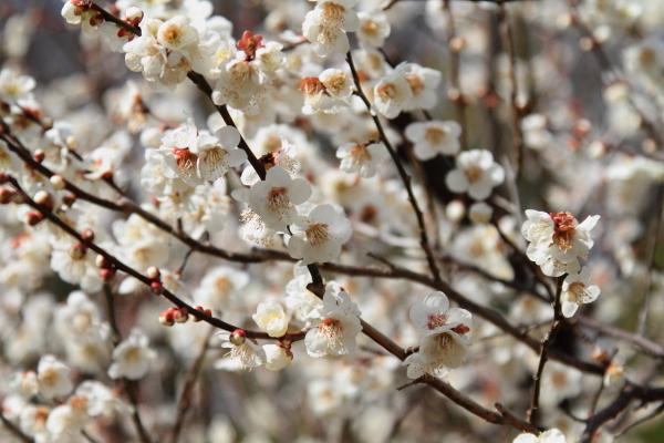 IMG_3048薬師池公園 梅薬師池公園 梅