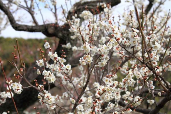 IMG_3062薬師池公園 梅薬師池公園 梅