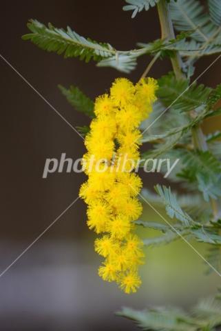 4210080 ミモザの花
