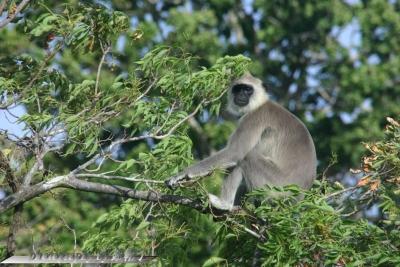 201407Sli-hanuman-singe.jpg