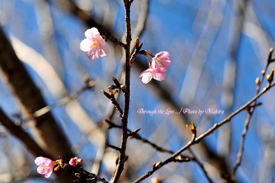 河津桜(カワヅザクラ)1