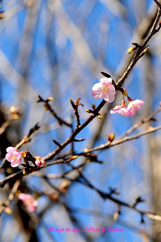 河津桜(カワヅザクラ)2