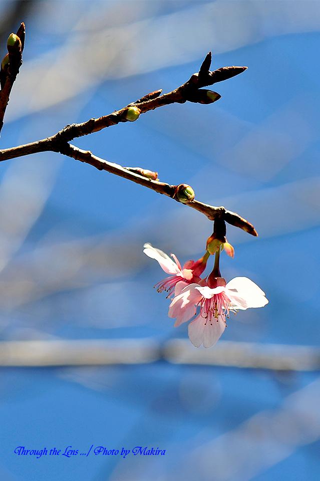 河津桜(カワヅザクラ)3