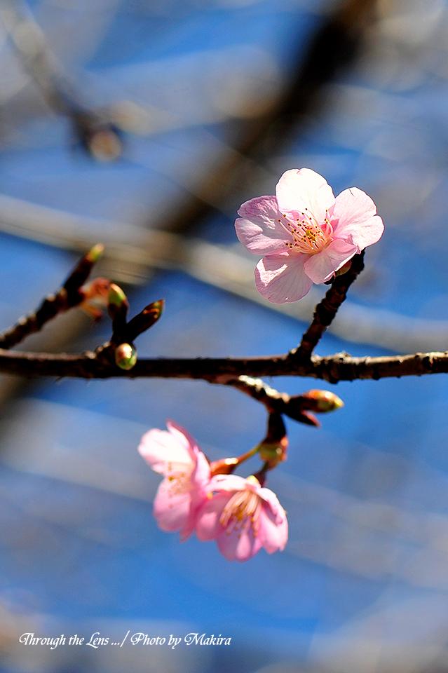 河津桜(カワヅザクラ)4