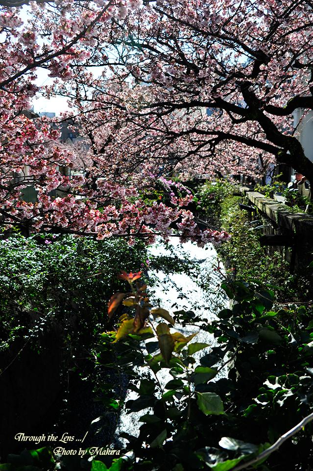糸川熱海桜3