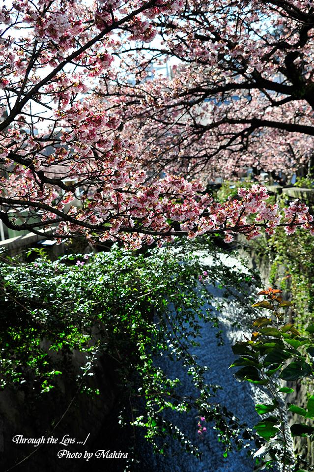 糸川熱海桜2