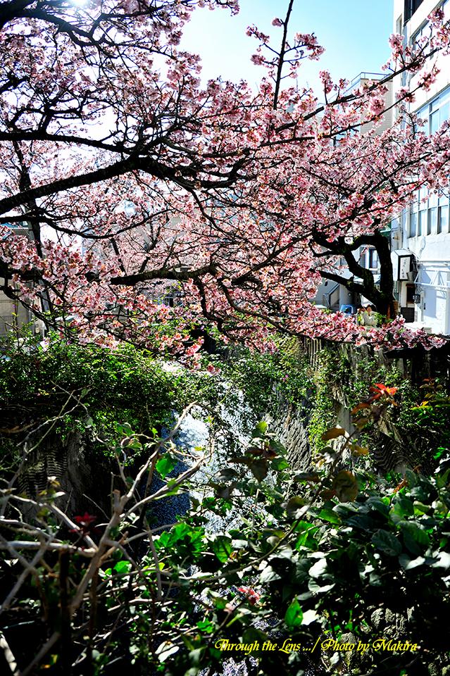糸川熱海桜4