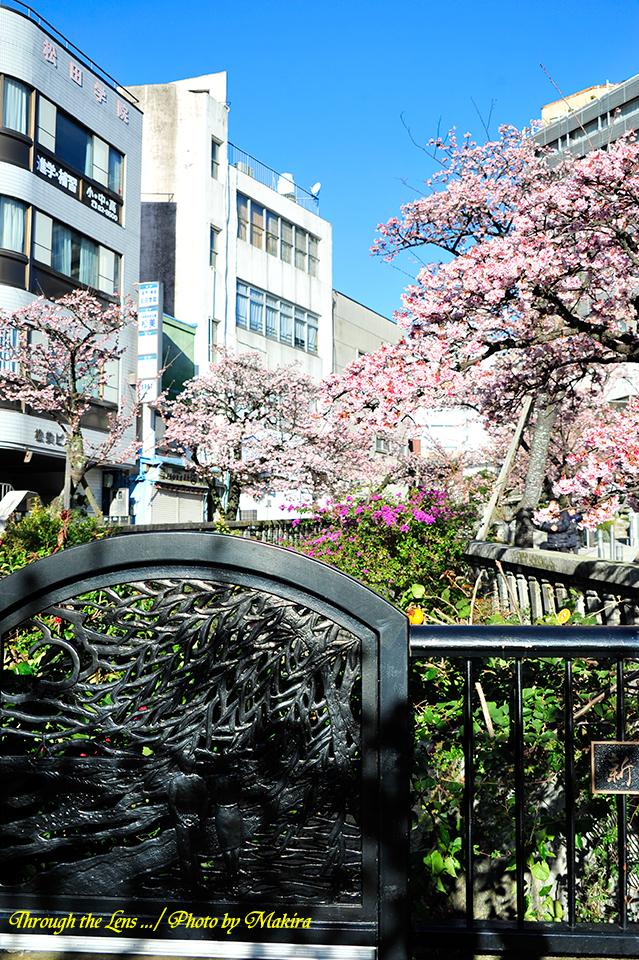 糸川熱海桜5