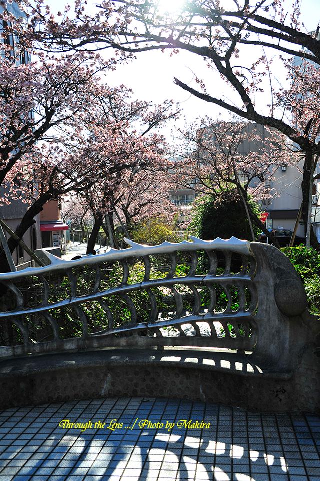 糸川熱海桜6