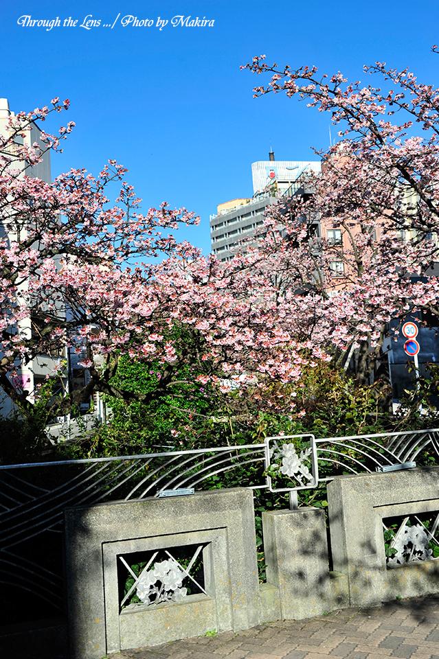 糸川熱海桜7