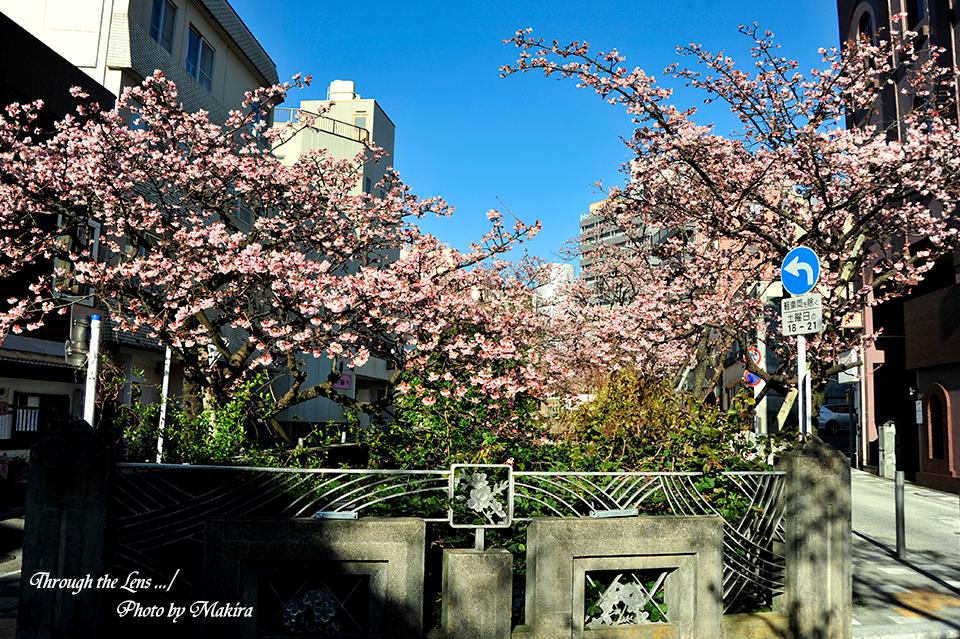 糸川熱海桜8
