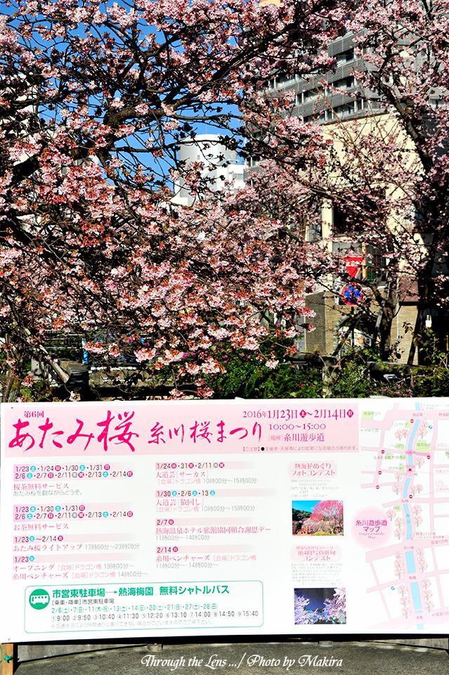 糸川熱海桜9