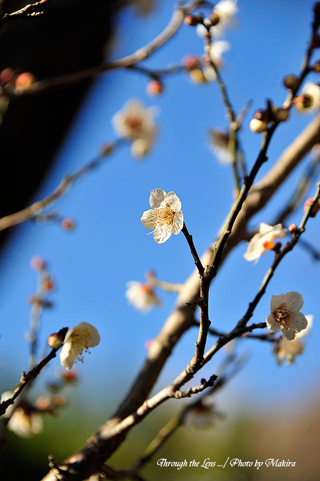 冬至梅(トウジバイ)1