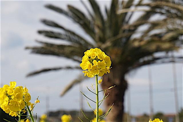 0110菜の花2