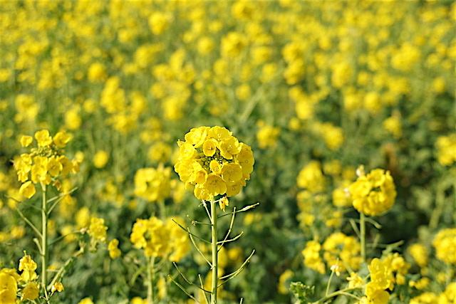 0110菜の花3
