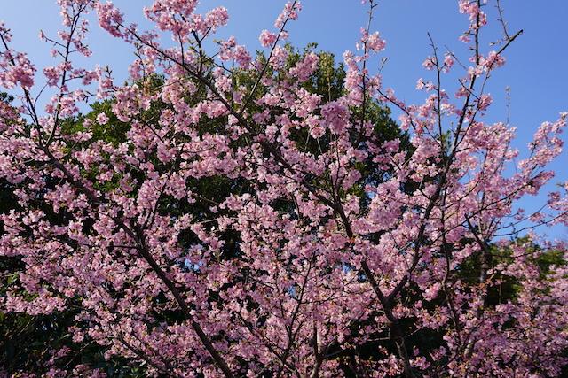 0227桜2