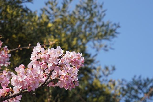 0227桜2−1