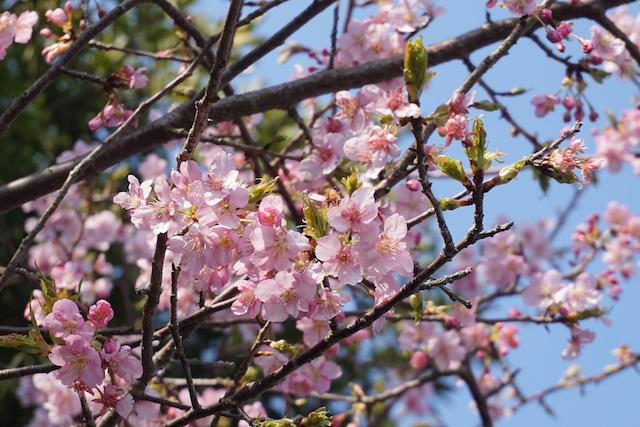 0227桜2−2