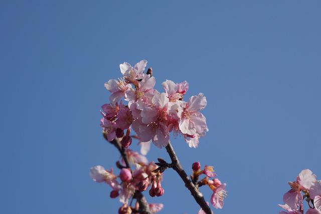 0227桜3